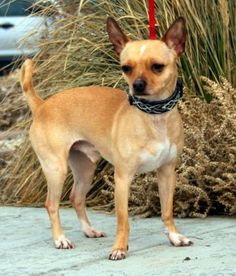12 / 10 Petango.com – Meet Beetle, a 3 years Chihuahua, Short Coat / Mix available for adoption in Park City, UT Contact Information Address P.O. Box 682155, Park City, UT, 84068 Phone (435) 649-5441 Website http://www.foautah.org Email cathyclark@foautah.org
