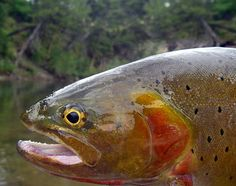 Fly Fishing Yellowstone National Park Great This Is awesome http://www.flyfilmfest.com/sponsors