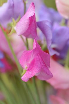 Pink & Purple Sweet Peas