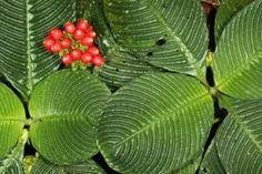 Google Image Result for http://us.123rf.com/400wm/400/400/atelopus/atelopus1109/atelopus110900033/10679112-plant-with-textured-leaves-on-the-rainforest-floor-ecuador-family-gesneriaceae.jpg