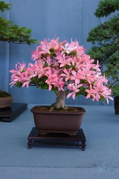 Azalea bonsai (by Prox-Photography) Frankly, bonsai anything (I miss that incarnation---it was a good one)