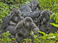 """HALLELUJAH!!!! BREAKING NEWS! WWF ROCKS!   'British oil company SOCO agrees to cease operations in Congo's Virunga National Park'  -  """"SOCO International Plc, reached an agreement with the conservation group WWF to end exploratory work in the Democratic Republic of Congo's Virunga National Park, classified a World Heritage Site by UNESCO in 1979 and the last refuge for the country's mountain gorillas."""""""