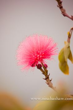 Mimosa Flower-how many people get big, goofy grins dreaming of that semitropical beautiful tree?