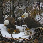 Mr. President & The First Lady's Two Eggs Are Soon Due to Hatch at National Arboretum on DC Eagle Cam!