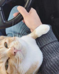 笹倉慎介さんはInstagramを利用しています:「安全運転をうながすトト . #cat#猫#ねこ#ネコ#茶トラ#茶トラ白#茶白#トトフォト#マンチカン」