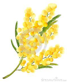 Fleur jaune de mimosa Symbole de fleur d acacia du jour des femmes