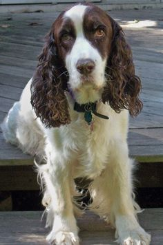 Ollie the English Springer Spaniel Pictures 10725