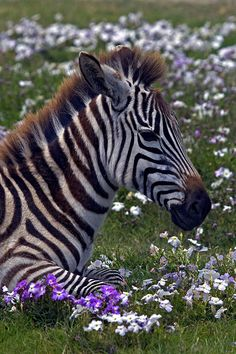 ~~Zebra foal and flowers by afromemy~~