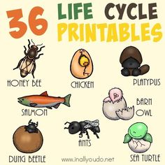Whether you're studying mammals, insects, or marine life - these Life Cycle printables are a great addition to any science unit. Choose from 36 different printables! :: http://www.inallyoudo.net