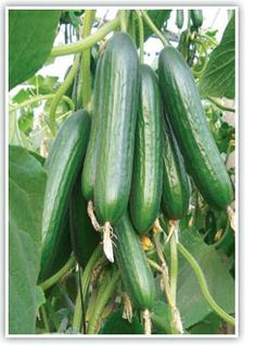 Link for Seedless/Thin Skinned Cucumbers    http://www.johnnyseeds.com/c-354-seedless-and-thin-skinned.aspx