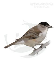 CURRUCA CAPIROTADA. Son aves pequeñas, 14-15 cm. Lo más destacable es la coloración del píleo, de un color negro intenso que da sentido al nombre común de la especie, ya que asemeja a un capirote o boina justo por encima de la región supraorbital.