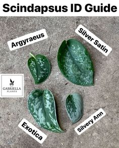 Slightly revised Scindapsus ID Chart. You will most often see the Argyraeus labeled just pictus by growers and retailers, despite these are… Easy House Plants, House Plants Decor, Plant Decor, Houseplants Safe For Cats, Pothos Plant, Plant Aesthetic, Low Light Plants, Outdoor Plants, Plants Indoor
