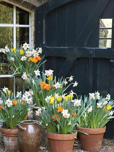 Bulbs in Pots Now for Spring Beauty Daffodils in terracotta pots - Spring is here!Daffodils in terracotta pots - Spring is here! Spring Flowering Bulbs, Spring Bulbs, Spring Blooms, Spring Flowers, Planting Bulbs In Spring, Garden Bulbs, Garden Pots, Garden Bed, Fruit Garden