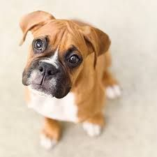 Image result for boxer puppies
