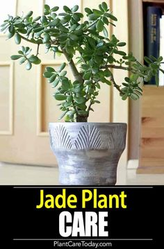 Learn jade plant care! It is simple for these small, sturdy succulents known as the Crassula (real name). They are a great beginner houseplant, along with the spider plant.