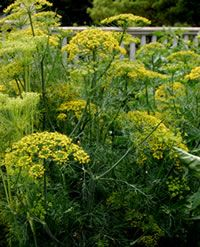 Dill : Vegetables : Yard and Garden : University of Minnesota Extension Gardening Zones, Container Gardening, Gardening Tips, Growing Dill From Seed, How To Grow Dill, Cottage Garden Plants, University Of Minnesota, Edible Garden, Permaculture
