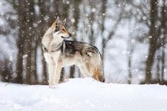 Wolfdog beauty in the snow by Martin Janecek on 500px