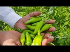 Hari Mirch ka Achaar Recipe | Green Chillies Pickle Recipe | Village Food Secrets - YouTube Chilli Recipes, Pickles, The Secret, Cucumber, Stuffed Peppers, Make It Yourself, Vegetables, Vegetable Garden, Sauces