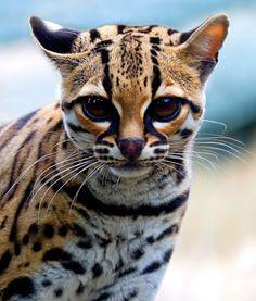 Happy Caturday! Margay - Endangered Animal - Near Threatened