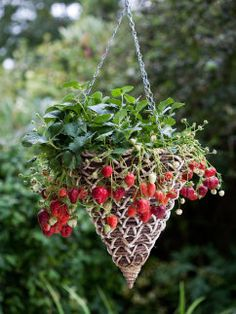 Hanging Basket Produces Continuous Strawberries
