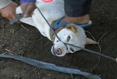 Animal advocacy organization Animals Australia has discovered that tourists in Bali have been fed dog meat believing it to be chicken satay. Video evidence shows dogs kidnapped, tied up, and caged — sometimes for days at a time without food and water — before they are brutally slaughtered. An undercover investigator for Animals Australia spent …