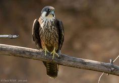 Photographie de David Roux : Faucon d'Éléonore (Falco eleonorae) près de Cendras (Gard) en juin 2016. 30 Mai, Bald Eagle, David, Magazine, Animals, Travel Report, Hawks, Red Heads, Photography