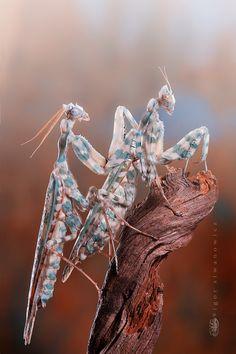 mantis photo by igor siwanowicz