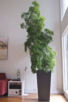 wow a little pruning and it would look like a big bonsai Tall Indoor Plants, Indoor Bonsai, Indoor Plant Pots, Indoor Garden, Potted Trees, Potted Plants, Container Plants, Container Gardening, Types Of Houseplants