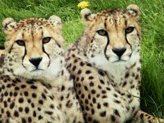 Cheetahs in Longleat safari park looking beautiful as ever
