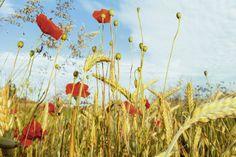 Tanja Riedel: Hochsommerzeit - Bild auf Alu-Verbundplatte Wandbilder Blumen & Pflanzen Mohnblumen