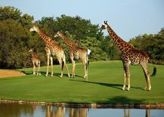 Expert Golf Tips For Beginners Of The Game. Golf is enjoyed by many worldwide, and it is not a sport that is limited to one particular age group. Not many things can beat being out on a golf course o Famous Golf Courses, Public Golf Courses, Safari, Golf Card Game, Augusta Golf, Golf Course Reviews, Miniature Golf, Golf Tour, Golf Fashion