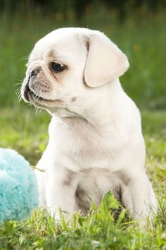 Cute White Pug Puppy