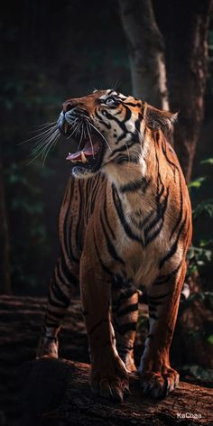 The Sumatran Tiger Tiger Images, Tiger Pictures, Lion Images, Nature Animals, Animals And Pets, Baby Animals, Cute Animals, Wild Animal Wallpaper, Tiger Wallpaper