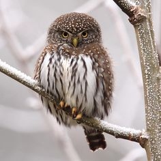 Foggy with a chance of a tiny Northern Pygmy-Owl (photograph taken in the region on January 3, 2016)