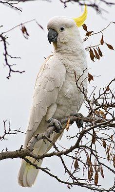 Bird… Greater sulphur-crested cockatoo (Cacatua galerita galerita) in Tasmania, Australia