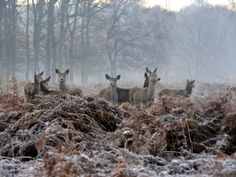 Richmond Park - Deer graze in the frosty bracken shortly after sunrise. Created by Charles I, the royal park is home to about 630 red and fallow deer Capricorn Aesthetic, Richmond Park, Fall Scents, Wild Nature, Winter Is Coming, Winter Time, The Guardian, Country Life, Snow