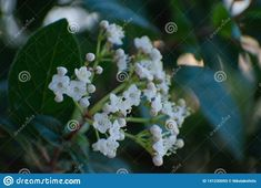Shot of beautiful flowers in the garden.. Photo about green, leaves, tiny, little, blossoms, natural, beautiful, twigs, white, garden, ecosystem, nature, twig, blossom - 141230093
