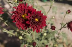 Red Flower With Yellow Centered Bloom https://madipix.com/red-flower-with-yellow-centered-bloom/