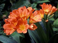 Kaffir lily Indoor Garden, Garden Art, Indoor Outdoor, Clivia Planta, South African Flowers, Orange Flowers, Garden Landscaping, Aloe, Lily