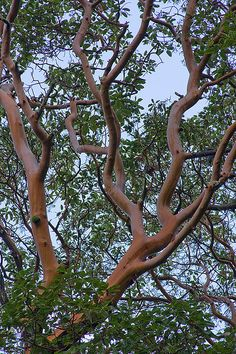 Pacific Madrone Tree, considered sacred by native Americans of the West Coast. To this day they will not use this tree for firewood. Trees And Shrubs, Trees To Plant, Arbutus Tree, Magical Tree, California Native Plants, Low Maintenance Landscaping, Nature Tree, Front Yard Landscaping, Hedges