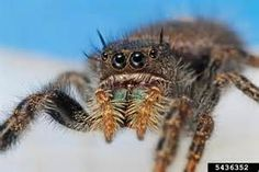 jumping spider joseph berger bugwood org jumping spiders get their ...