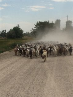 Goats moving down the road