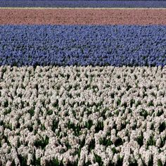 Hyacinth fields, Netherlands | 1,000,000 Places Great Places, Places To See, Netherlands, Fields, The Nederlands, The Netherlands, Holland