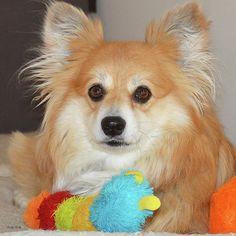 Corgi Pomeranian Mix You Mixed A Corgi With What Pinterest