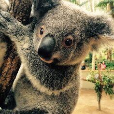 I love this little man Elliot. #cuteanimalselfie #cuteanimals #cutekoala #koala…