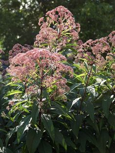Attract butterflies to your garden with Joe Pye weed. It's a tough-as-nails perennial that will easily grow 7 feet tall. In late summer, the plant produces waves of nectar-rich pink flowers that butterflies love. Joe Pye weed thrives in moist, rich soil. Name: Eupatorium purpureum Zones: 3-9