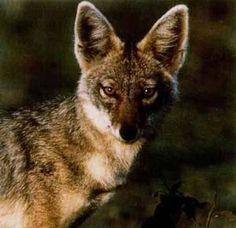 Golden Jackal (Canis aureus) found in the Carpathian basin.