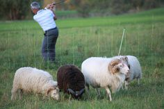 Schafe als Hindernis