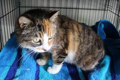Found Cat Torti/Tabby Female found Greerton.  Please contact us if you are missing this cat!