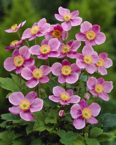 Brookside Nursery sell mail order plug plants, bedding plants, basket plants, perennials and vegetable plants direct from our nurseries in Tamworth. Anemone Flower, Cactus Flower, Flower Beds, Flower Art, Flowers Nature, Exotic Flowers, Orange Flowers, Beautiful Flowers, Yellow Roses